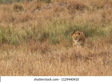 Lion following a Zebra in the grasses, Masai Mara