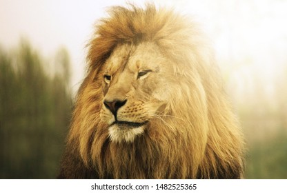 The Lion in the forest as a predator