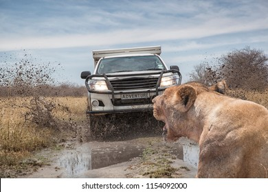 lion in front of a fast driving and  mud splashing off road car on a wet dirt road, Botswana, Africa. Concept for safari tourism and off road adventure