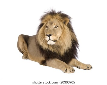 Lion Lying Down Images Stock Photos Vectors Shutterstock A starving young lion certainly managed to get his claws into a tasty little snack. https www shutterstock com image photo lion front white background 20303905