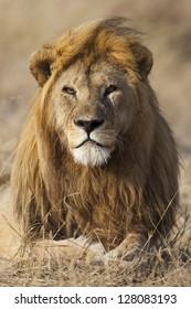 Lion with golden mane, Serengeti National Park