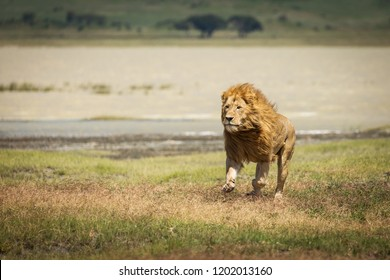 Lion in the grass ready to hunt in National Park of Ngorongoro, Tanzania