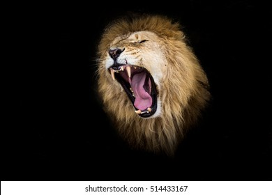 lion growls portrait