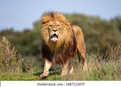 Lion Guarding Territory from another male lion.