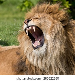 Lion having a yawn showing mouth, teeth and tongue.