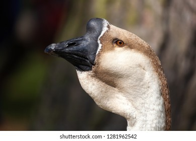 Lion Head or African Goose closeup head and shoulder photograph