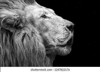 Lion head in black and white