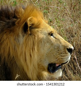 lion head, close up lion, lion in serengeti national park, tanzania, africa