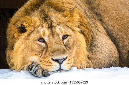 Lion head portrait. Lion eyes. Lion portrait. Lion head