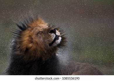 Lion Head Shake in Rain Shaking off the mane and splashing off the rain drops  Lion in Rain shot at Masai Mara.