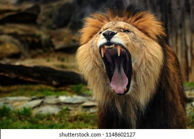 Lion. The lion with his open mouth wide open. A lion to see his teeth.