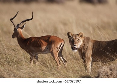 Lion Hunting Images, Stock Photos & Vectors | Shutterstock