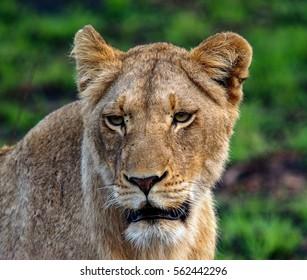 Lion hunting in Kruger Park