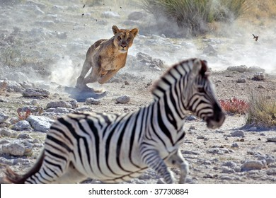Lion hunting zebra