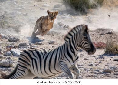 Lion hunting zebra. Etosha National Park, Namibia.