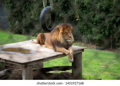 Lion with impressive Mane sitting on platform within enclosure, photographed from behind wire fence which symbolises captivity.