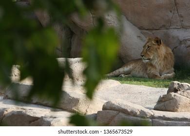 lion in jungel