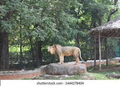 Lion  kept in captive, roaring lion in captive.