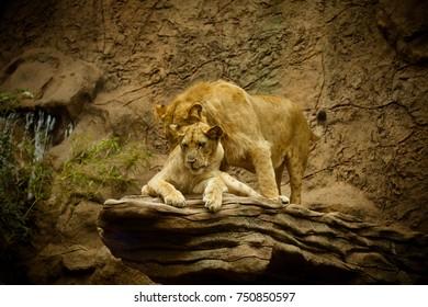 Lion kept in zoo.