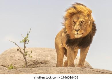 Lion King Of African Jungle, Tanzania