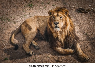 lion, the king of the African savannah quietly lying down