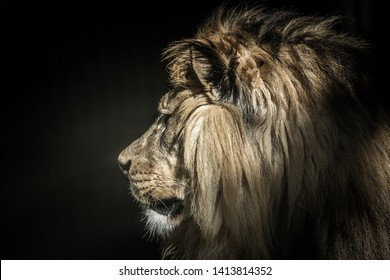 lion of the king at animals