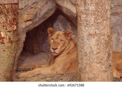 Lion it is king of the forest