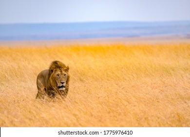 The lion king in the golden light