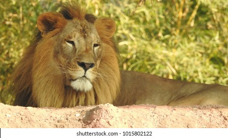Lion king isolated,lion looking regal standing. King of jungle the great lion closeup photography with blurry background, lion close photos