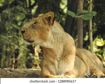 20d54f425 Lion king isolated,lion looking regal standing. King of jungle the great  lion closeup