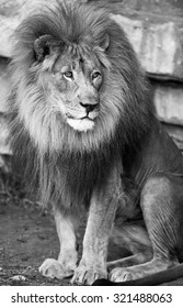 Lion king of jungle in black and white.