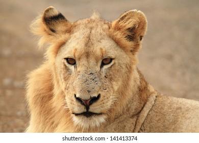 lion king of the jungle carnivorous mammal predator African savannas kruger national park south africa