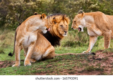 The Lion King Lipstick is greeted by his excited lionesses. In his field three Cheetahs have been seen by them in the Masai Mara, Kenya