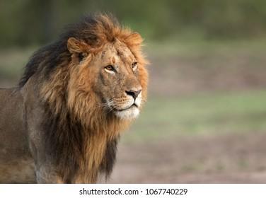The lion King, Masai Mara