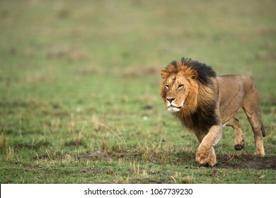Lion king on the grasses of Masai Mara