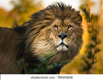 Aslan Kral Images Stock Photos Vectors
