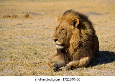 Lion king resting confident in the african savannah