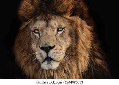 Lion Kruger on a black background. Wild hungry animal. Photo of the animal world.