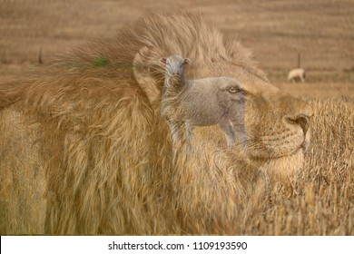 Lion and the lamb, image of male lion with mane, blended into image of sheep/lamb in a wheat field