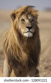 Lion with large, golden mane, Serengeti National Park