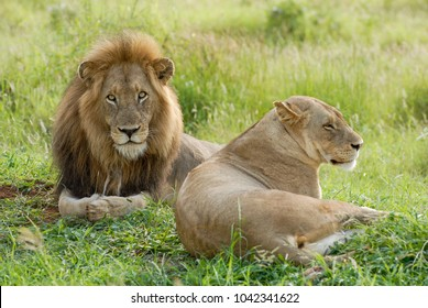 A lion with large mane and lioness lying together in green grass