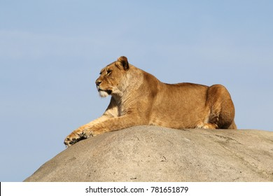 Lion laying on a rock