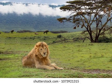 Lion Laying In Serengeti With Acacia Tree Serengeti Africa