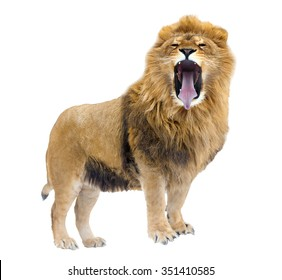 The Lion leader. Growls. isolated