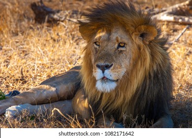The lion lies in the shadow of a tree. Africa. Kenya. An old African lion. Lion with a big mane. .