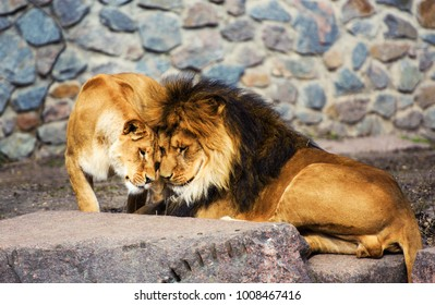 Lion Lioness Love Images Stock Photos Vectors Shutterstock