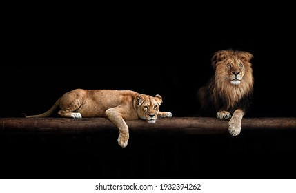 Lion and lioness, animal family. Portrait in the dark, after sex.