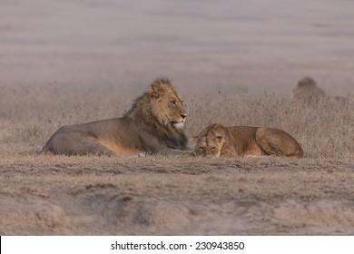 Lion and lioness before mating, Ngorongoro, Tanzania