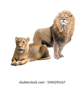 Lion and lioness. Couple, family. Isolated on white background.