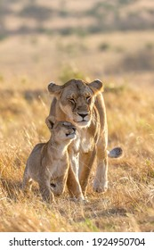 Lion Lioness and cub mothers love
